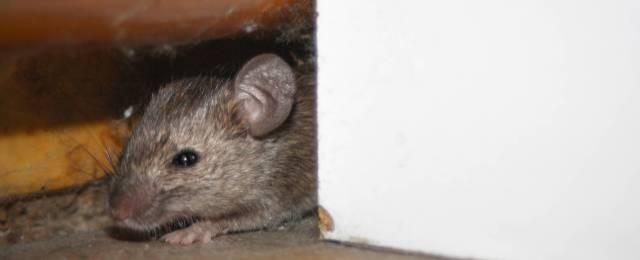 موش و بیماری