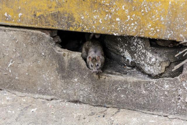 موش های سیاه