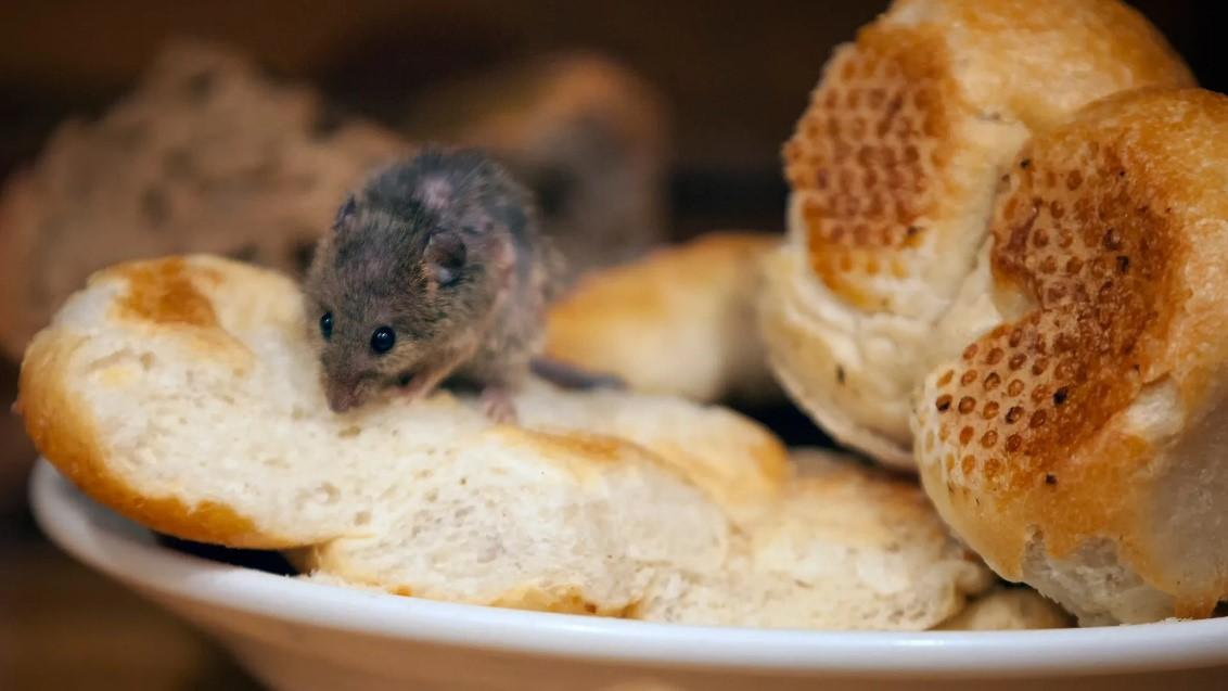 موش و نان