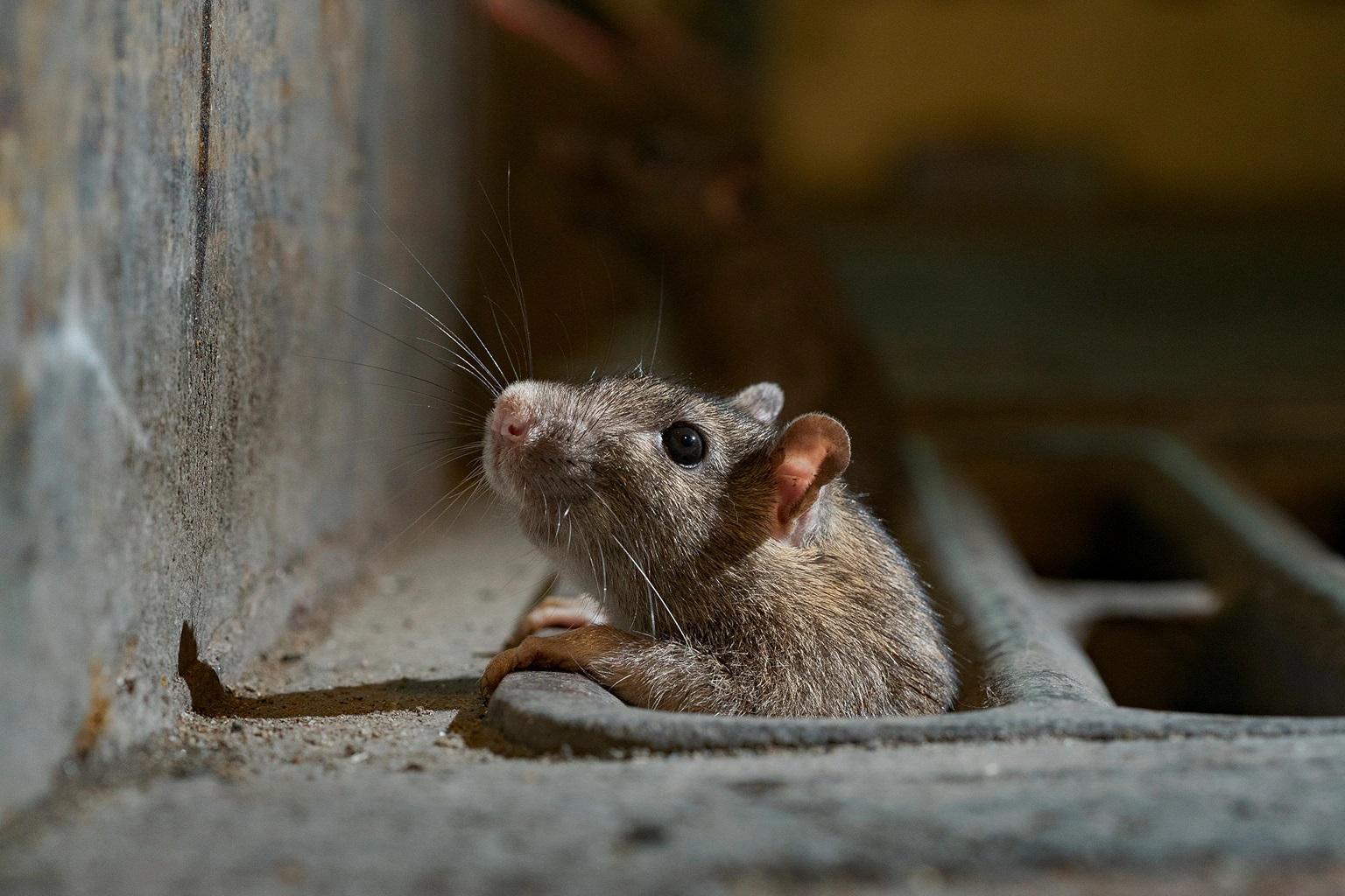 موش ها در بنادر کشتی